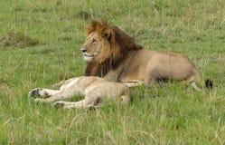 懒惰狮子 免版税图库摄影