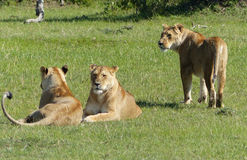 懒惰狮子 免版税库存图片