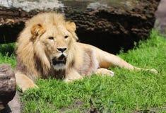 懒惰狮子 免版税库存照片