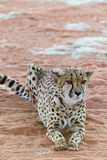 懒惰猎豹(Gepard) 免版税图库摄影