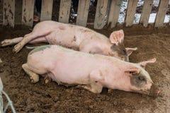 懒惰猪休眠 免版税图库摄影