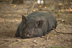 懒惰猪 免版税库存图片