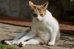 懒惰猫在庭院里 免版税库存图片