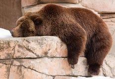懒惰的北美灰熊 免版税库存图片