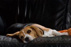 懒惰的小猎犬 库存图片