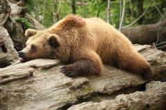 懒惰的熊 免版税图库摄影
