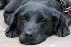 懒惰的狗 库存照片