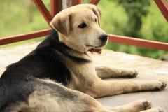 懒惰的狗 免版税库存图片