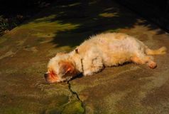 懒惰的狗 图库摄影