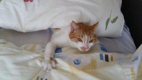懒惰的猫 免版税库存照片