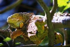 懒惰的鬣鳞蜥 免版税图库摄影