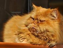 懒惰肥胖猫睡眠 免版税库存照片