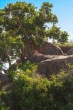 懒惰食肉动物睡觉在岩石 从塞伦盖蒂的雌狮,坦桑尼亚 免版税库存照片
