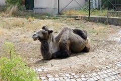 懒惰骆驼在动物园里 图库摄影