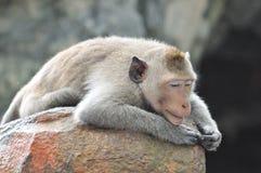 懒惰猴子。 免版税库存图片