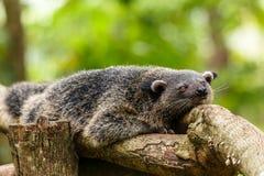 懒惰binturong或philipino斗士放松在树的, Palawa 免版税库存照片