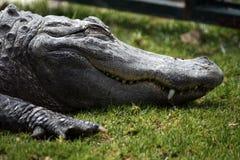 懒惰croc 库存图片