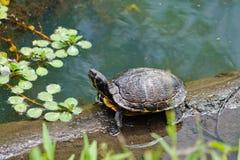 懦夫晒黑的滑子乌龟在潮汐小河,被烧的磨房小河,北卡罗来纳 库存图片