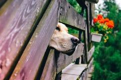 戈尔德猎犬狗偷看 库存照片