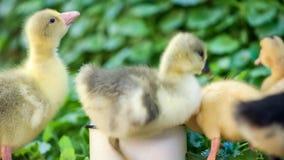 戈斯林和鸭子在绿草 影视素材