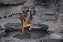 戏剧猴子 库存图片