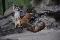 戏剧猴子 库存照片