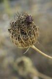 [戏剧]镶边了臭虫(Graphosoma italicum lineatum) 免版税库存照片