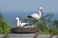 戏弄一只鹳的巢与鸟的对此 免版税库存图片