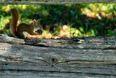 戏弄在早期的秋天的一个各式各样的苹果的红松鼠 免版税库存照片