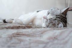 戏弄在梦想的睡觉猫 免版税库存照片