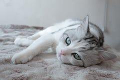 戏弄在梦想的睡觉猫 免版税库存图片