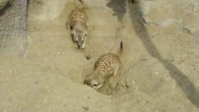 戏耍的小组meerkat海岛猫鼬类suricatta开掘在沙子和 股票视频