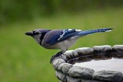 戏水盆蓝色尖嘴鸟 库存图片