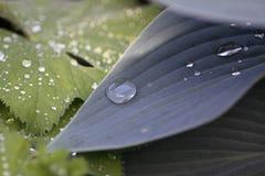 水成串珠状叶子 免版税库存图片