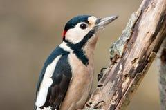 成人了不起的男察觉了啄木鸟 库存照片