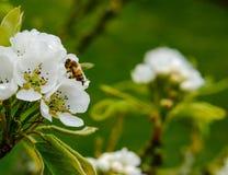 成人休息在一朵年轻梨开花花内的细磨刀石蜂看的汇聚,如在一个小果树园中看到 免版税库存图片