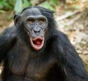 成人倭黑猩猩画象与开放嘴的 库存照片