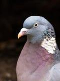 成人共同的斑尾林鸽,天鸽座palumbus头特写镜头  图库摄影
