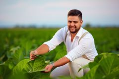 年轻成人农庄主检查在农田的烟草叶子 库存照片