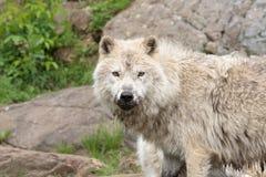 成人北极大狼 免版税库存照片