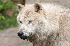 成人北极大狼 库存照片