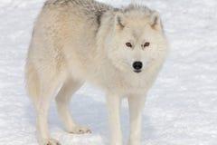 成人北极狼 库存图片
