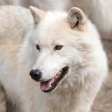 成人北极狼 免版税图库摄影