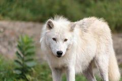 成人北极狼 免版税库存图片