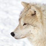 成人北极狼 免版税库存照片