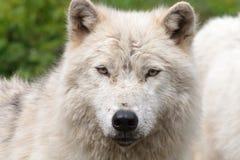 成人北极狼 库存照片