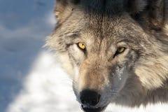成人北美灰狼 图库摄影