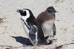 成人和少年非洲企鹅 库存照片