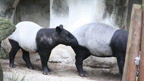 成人和少年马来貘,貘类动物indicus,等待的食物在动物园里 影视素材