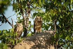 成人和幼小猫头鹰 被察觉的老鹰猫头鹰,腹股沟淋巴肿块africanus,是非洲猫头鹰在自然栖所在Etocha NP,纳米比亚,非洲 免版税图库摄影